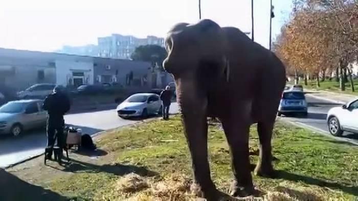 Elefante a spasso per Secondigliano tutti in fila per fotografare l'animale