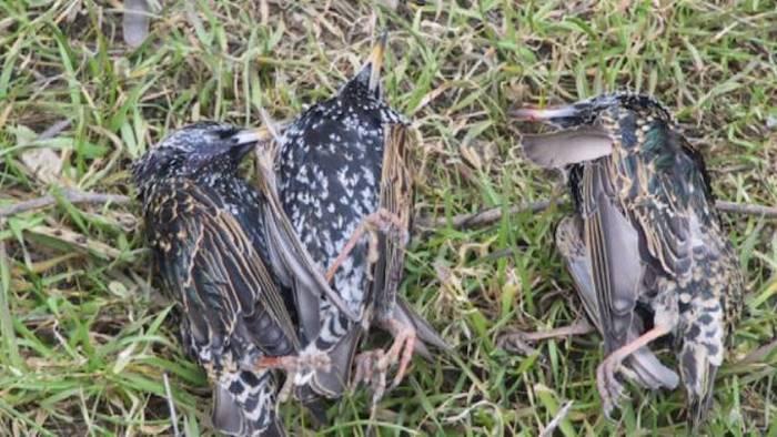 uccide 3 storni denunciato cacciatore