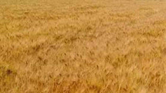 agricoltura al via la cun sperimentale sul grano duro