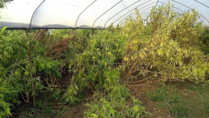 foto contadino beccato a coltivare 200 piante di marijuana
