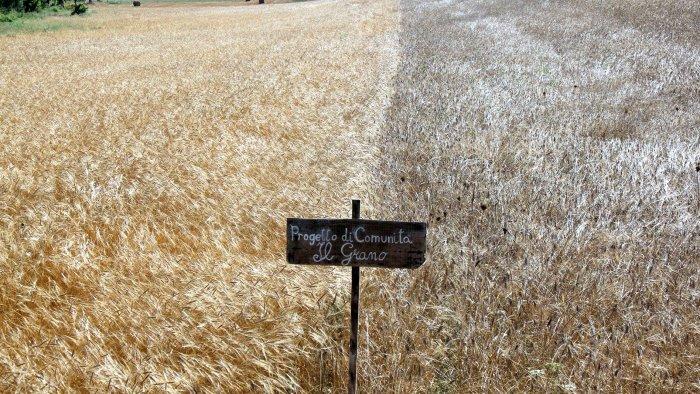 in irpinia il grano si autoproduce in comunita