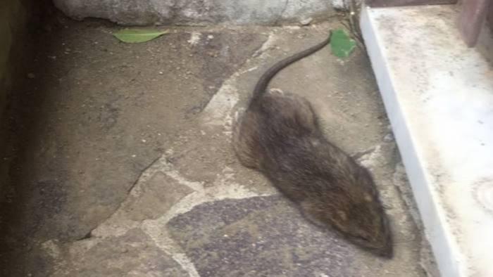 Ancora topi, chiude una scuola di Baronissi - Ottopagine