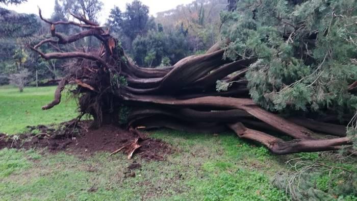 maltempo danni anche alla reggia cade albero monumentale
