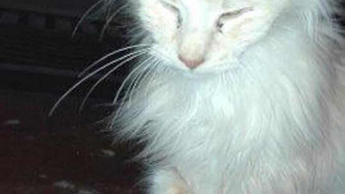 Denutriti e abbandonati: sequestrati 51 gatti Norvegesi, nei guai l'allevatore