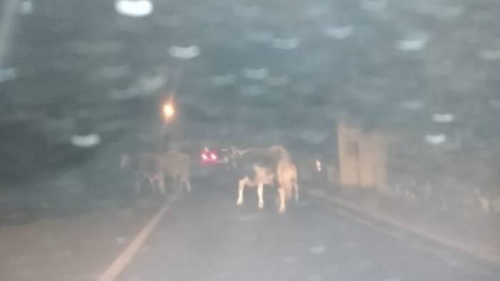 bovini vaganti nuovi avvistamenti nella valle dell irno