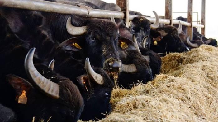 controlli ambientali sequestrato allevamento bufalino