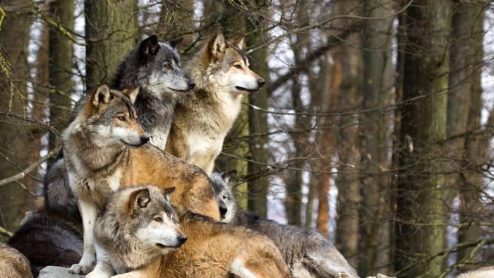 lupi sbranano mucche risarcito allevatore