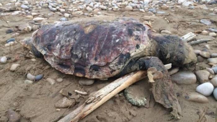 tartaruga trovata morta in spiaggia a marina di camerota