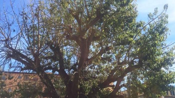 un albero d ulivo per celebrare la domeniche delle palme