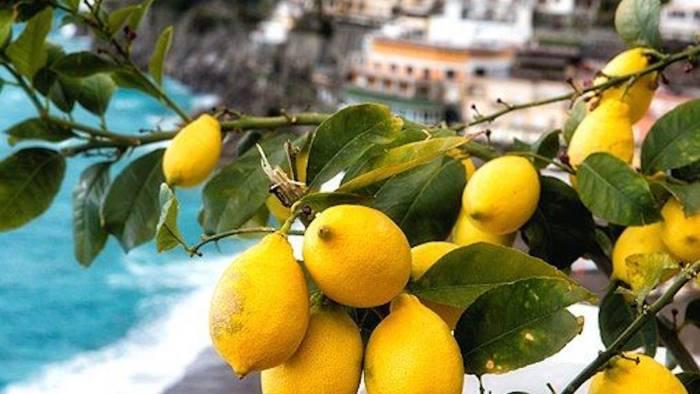 limoni igp costa d amalfi positivo l inizio della raccolta