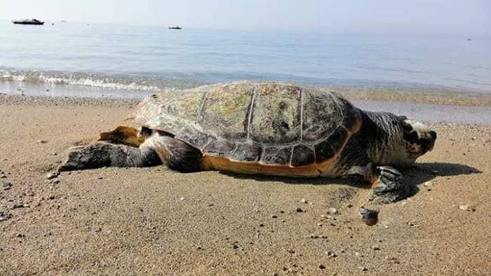 impatto con una barca trovata morta tartaruga caretta