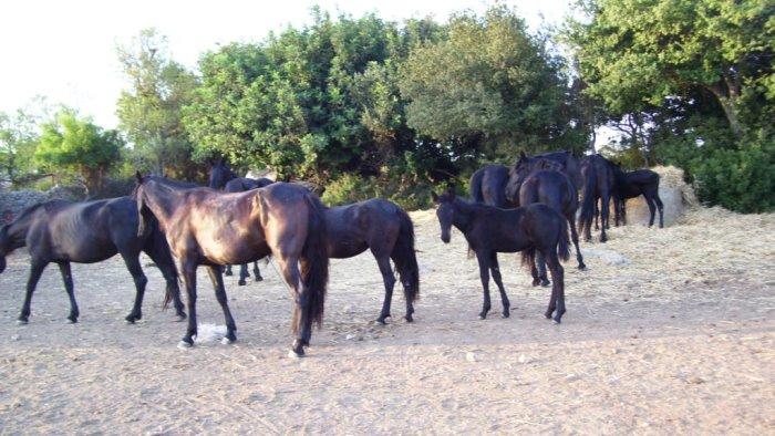 cavalli senza passaporto sequestro in azienda a bisaccia