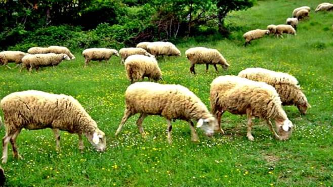 Irpinia pecore decimate dal virus servono i vaccini for Bagnoli x febbre