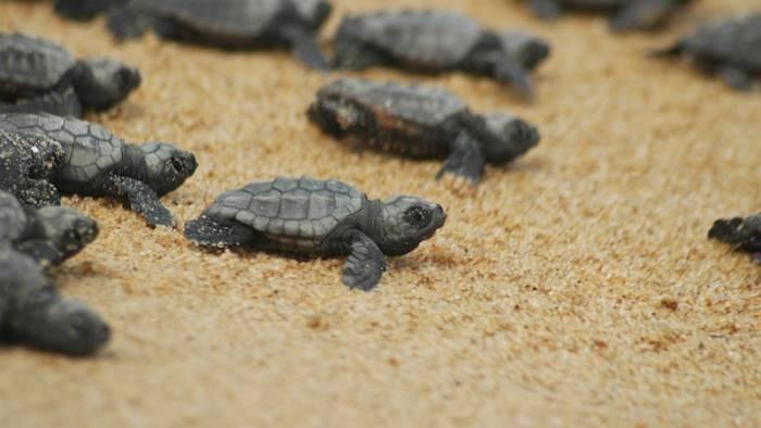in mare 75 magnifiche tartarughe ecco dove e quando