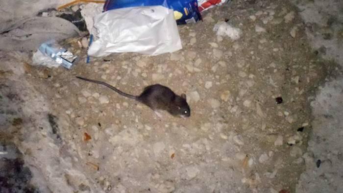 salerno invasa da topi e blatte ecco il programma del comune