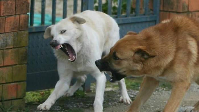 azzannata da cani randagi paura per una donna
