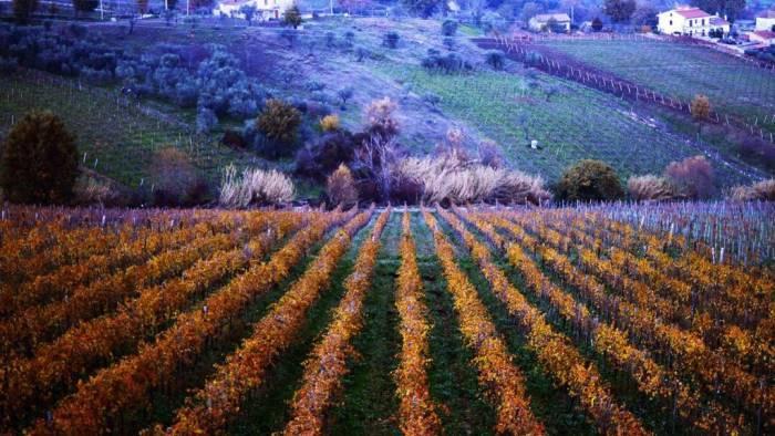 falanghina e allarme clima il nostro vino sta cambiando