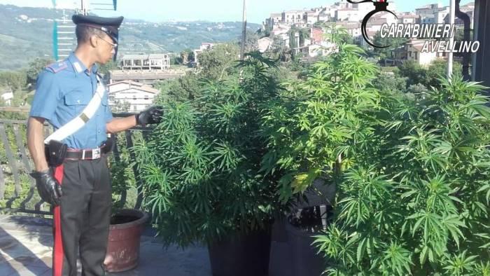 Risultato immagini per immagine di coltivazione droga