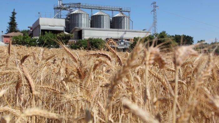 ecco il vero oro d irpinia nasce la filiera per la farina 100