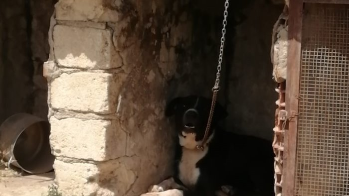 cane con catena strettissima sotto un sole bollente denunciate due persone