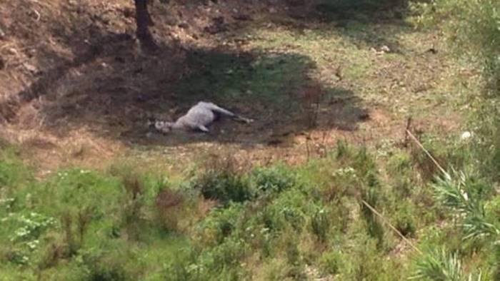 Cavallo legato ad un albero, muore di fame e sete