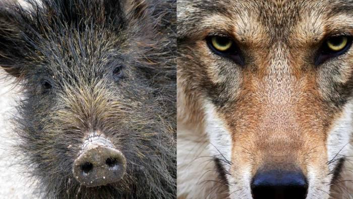 Risultati immagini per lupo cinghiale