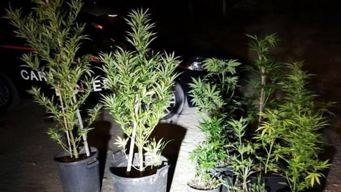 Milano, coltiva in giardino mille piante di marijuana: arrestato