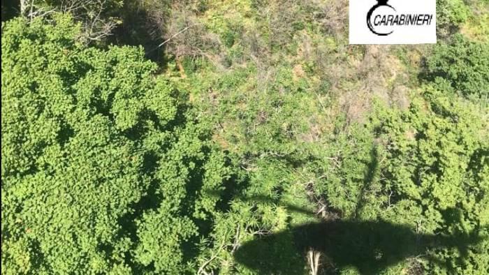 scoperta piantagione di marijuana distrutte 500 piante