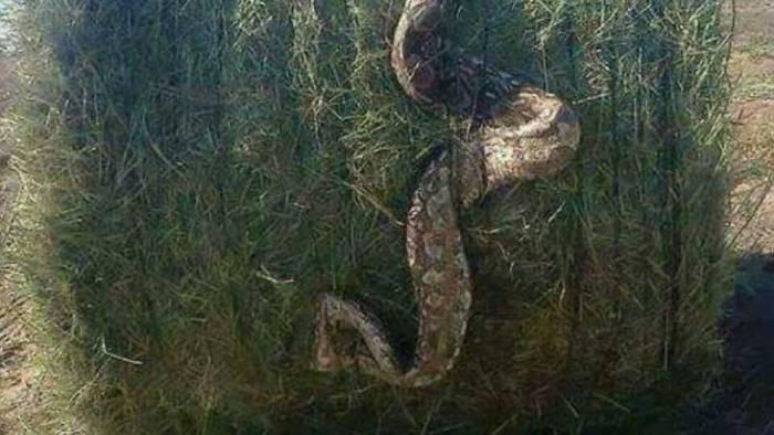 sul web scoppia il caso del serpente gigante