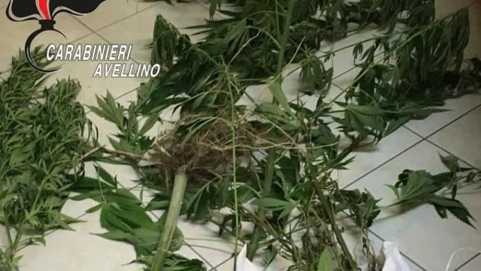 filiera indoor di marijuana non sfugge al fiuto di gero