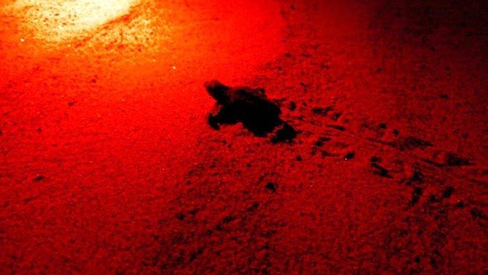 cilento nasce la prima tartaruga caretta caretta