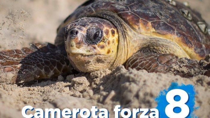 tartarughe in campania camerota da record con 8 nidificazioni