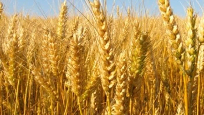 Conferenza Stato-Regioni: approvato decreto risorse per comparto cerealicolo