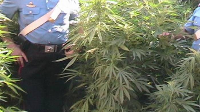 coltiva marijuana nel giardino arrestato