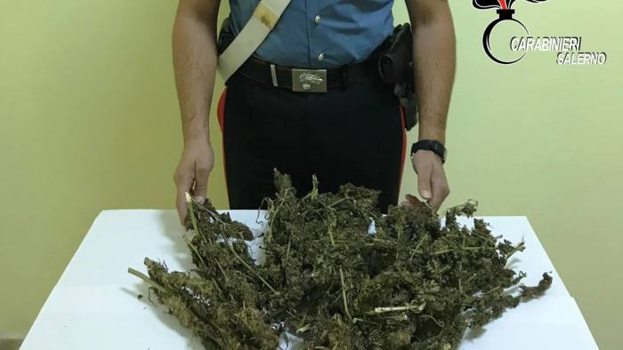 scoperta piantagione di marijuana trovati 200 chili di canapa
