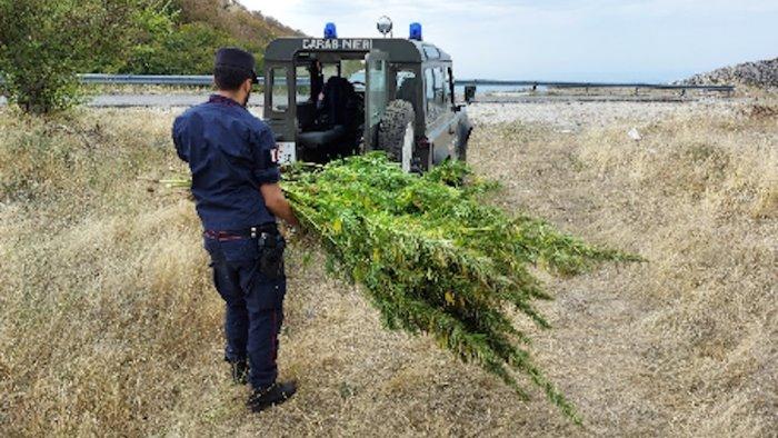 colliano sequestrate oltre 210 piante di cannabis