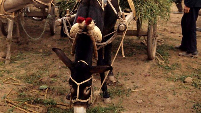 i cavalli di razza gli asini raglianti e il ciuccio che vola